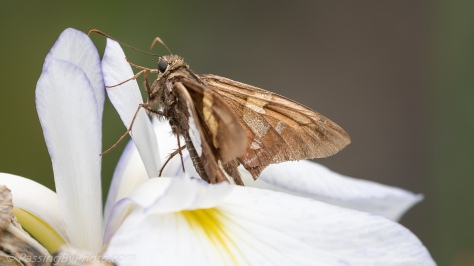 Skipper on Iris
