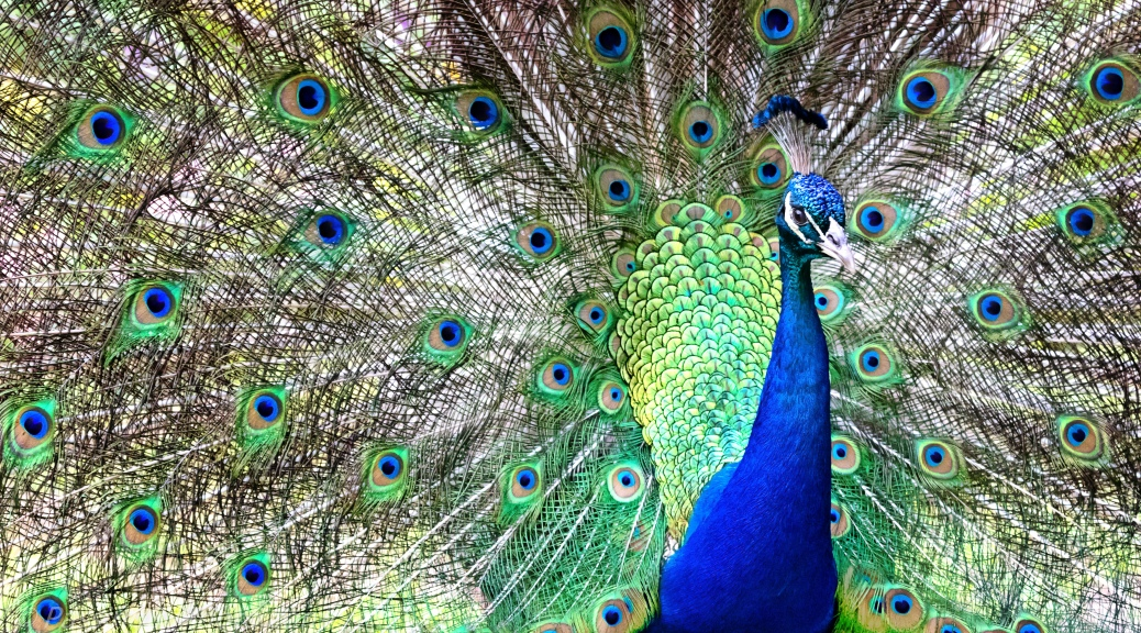 Peacock Strutting