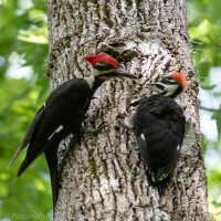 Pileated Woodpecker Feeding Fledgling