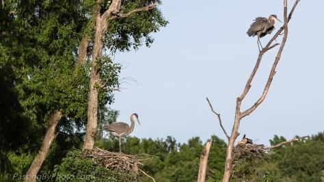 Pair of Great Blue Heron Chicks