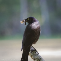 Grackle with a Double Snack