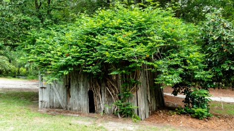 Shed Covered with Trumpet Vine
