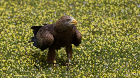 Yellow-billed Kite: