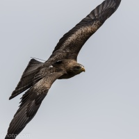 Yellow-billed Kite: In the Air