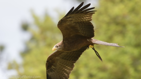 Yellow-billed Kite Flying