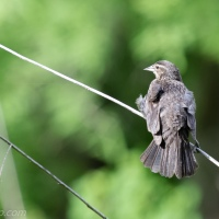 Juvenile Red-winged Blackbird