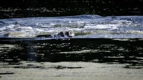 Alligator and Anhinga