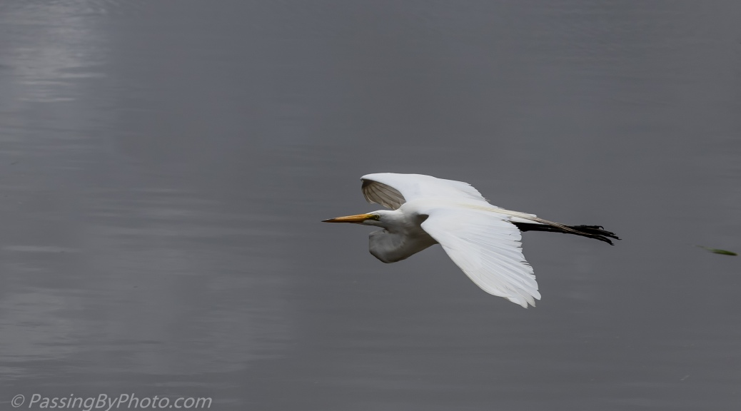Great Egret Flying Over Ashley River