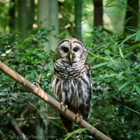 Barred Owl on Bamboo