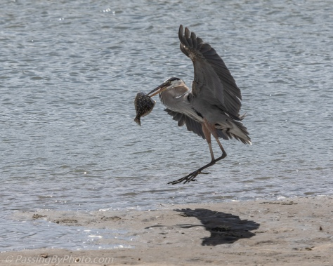 Great Blue Heron with Flounder