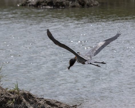 Great Blue Heron Flying with Flounder