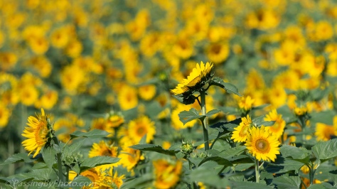 Sunflower in Field of Sunflowers