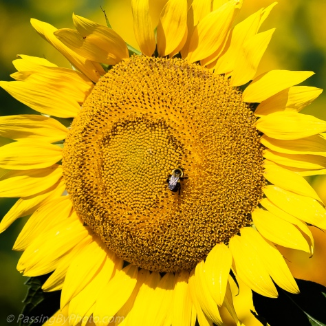 Bee on Sunflower Face