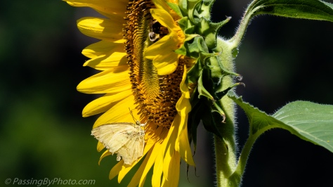 Moth and Bee on Sunflower