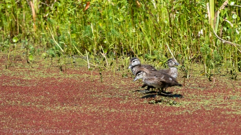 Three Wood Duck Ducklings