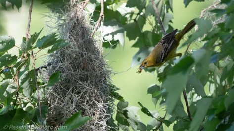 Female Orchard Oriole with Grasshopper