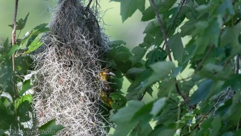 Female Orchard Oriole Removing Fecal Sac