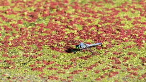Dragonfly on Duck Weed and Mosquito Fern