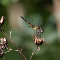 Back Yard Dragonfly