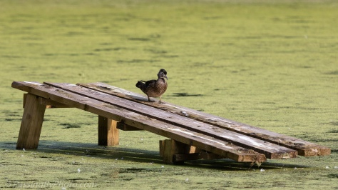 Wood Duck Left Alone
