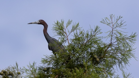 Little Blue Heron Posing in Tree