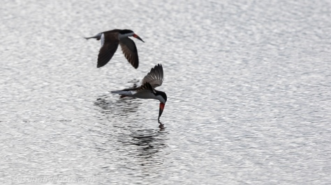 Black Skimmer Pair