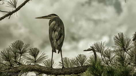 Great Blue Heron in Pine