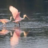 Spoonbill Getting Goosed