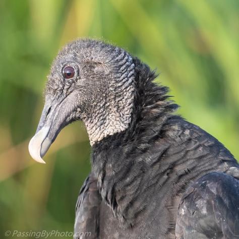 Juvenile Black Vulture