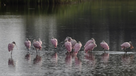Row of Spoonbills