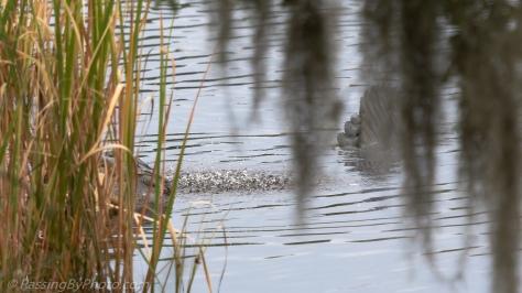 Alligator: Sub audible Vibrations