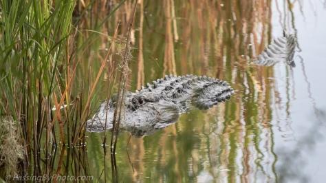 Alligator in Reeds