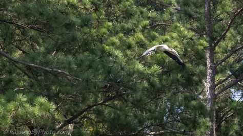 Wood Stork Taking Off From Pine Tree