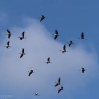 Wood Stork Exodus