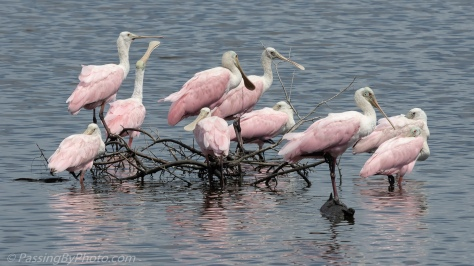 Roseate Spoonbills on Stick Pile