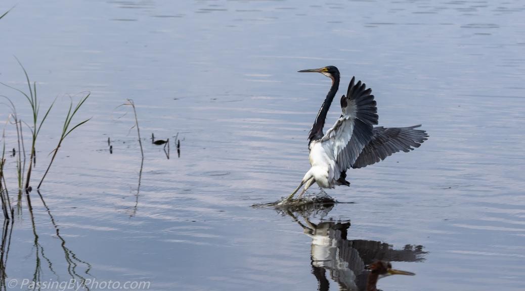 Tricorlored Heron Landing