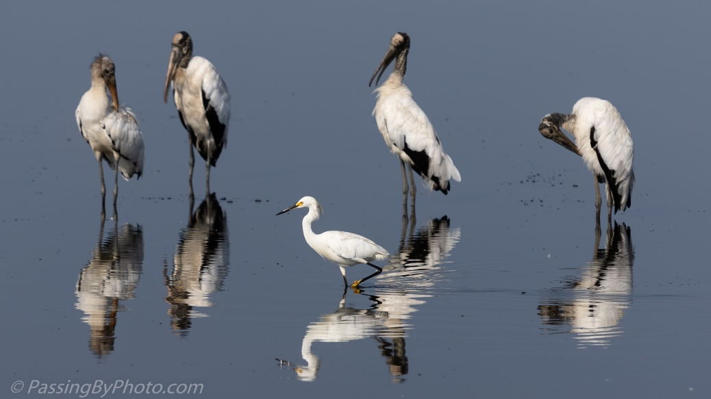 Snowy Egret Strutting in Front of Wood Storks
