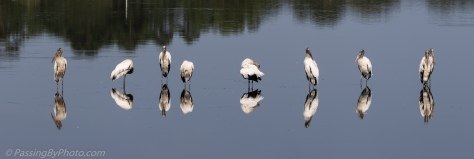 Wood Storks Standing in Pond