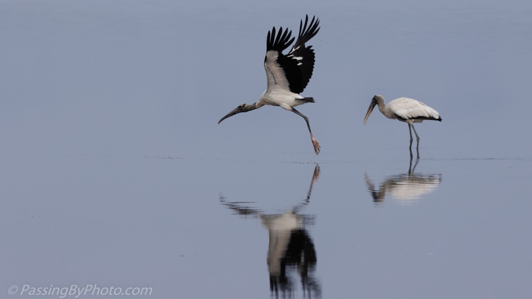 Wood Stork Taking Off
