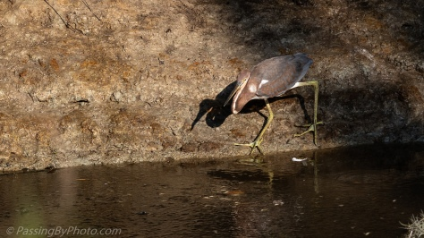 Tricolored Heron on Bank