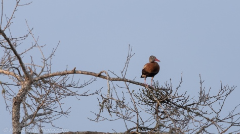 Black-bellied Whistling Duck in Tree
