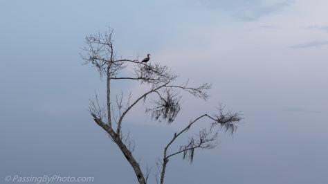 Black-bellied Whistling Duck in Tree
