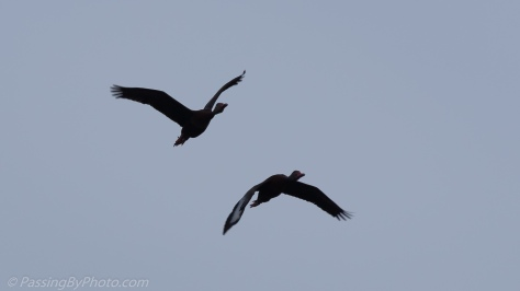Black-bellied Whistling Duck Pair Flying