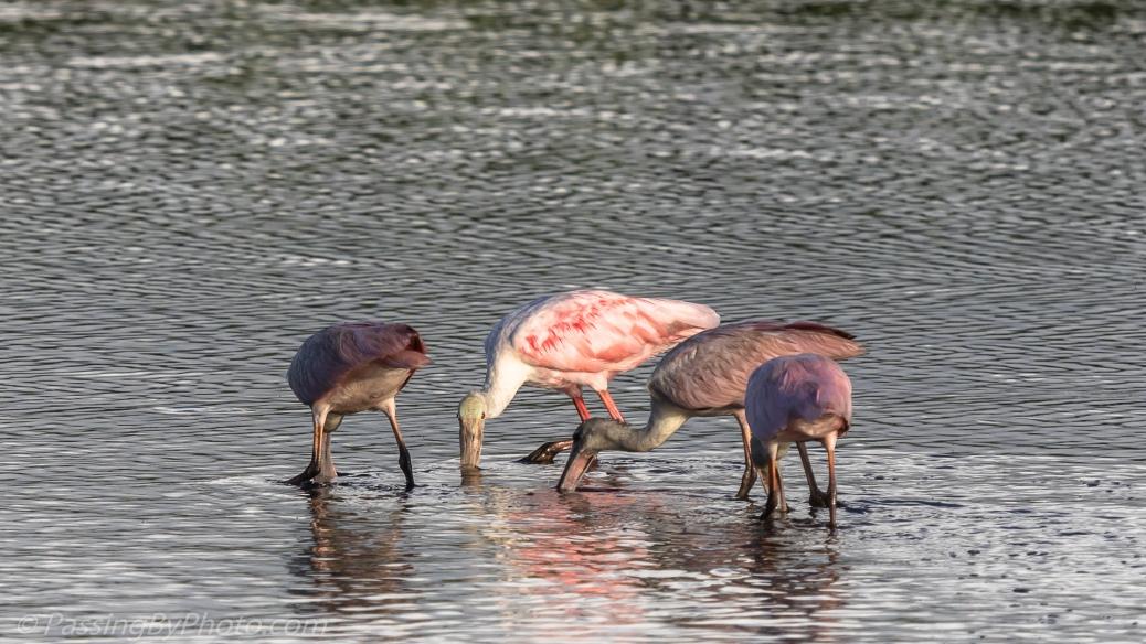 Roseate Spoonbills Feeding