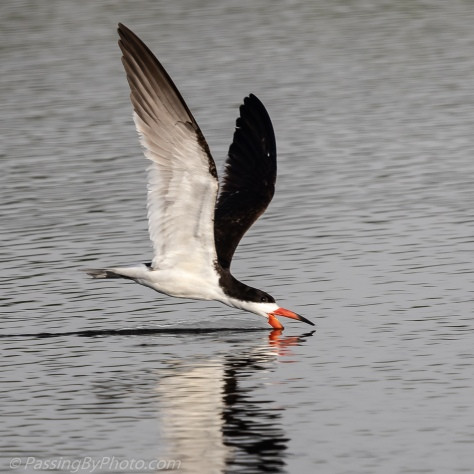 Black Skimmer Getting the Fish
