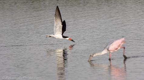 Black Skimmer Passing Roseate Spoonbills