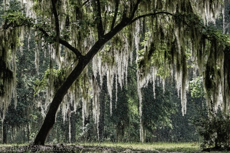 Rain Through Spanish Moss