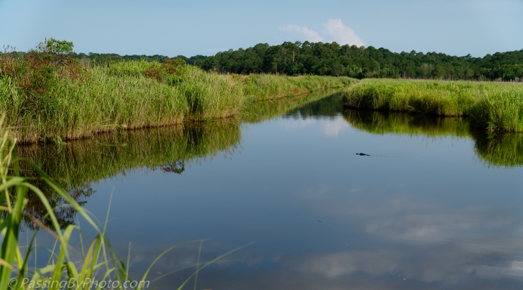 Alligator Swimming Across Canal