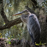 Great Blue Heron Surrounded by Spanish Moss