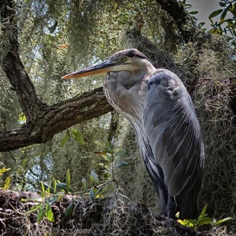 Great Blue Heron In Mossy Tree